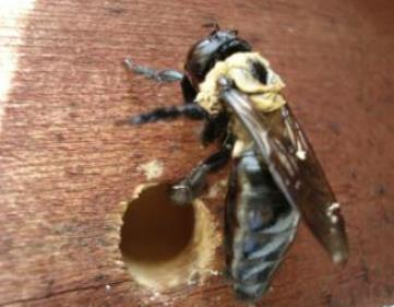 Carpenter bee next to nesting hole